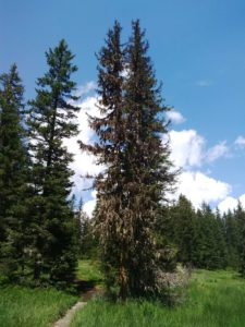 Fo29 - 1.4 Épicéa (Picea abies)