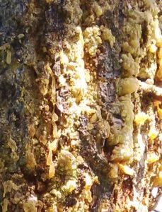 Fo29 - 4.4 - Épicéa (Picea abies)